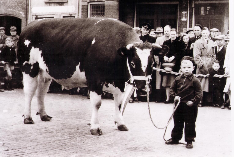 Met de koe door de dorpstraat